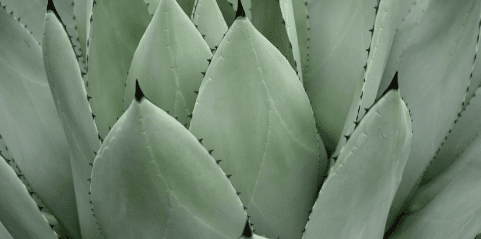 Agave vs. Blue Agave: What's the Difference?
